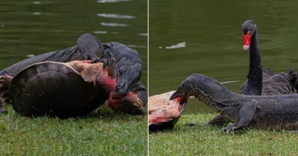 Monitor Lizard Devours Turtle At S'pore Botanic Gardens, Swan Watches Helplessly At The Side