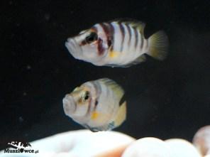 Altolamprologus compressiceps shell Kachese - para