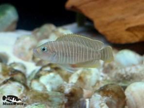 Lamprologus similis - samiec
