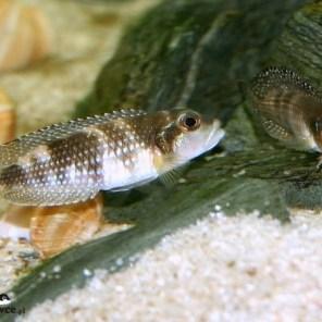 Lamprologus meleagris - para