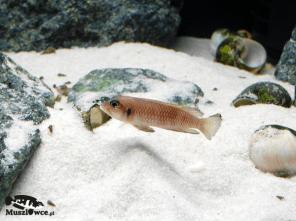 Samiec Lamprologus ocellatus - z odłowu