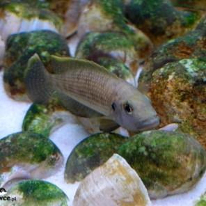 Lamprologus callipterus - tarło