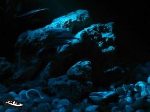 Altolamprologus calvus i Paracyprichromis nigripinnis blue neon