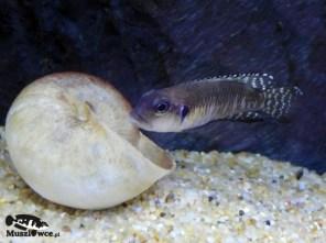 Lamprologus speciosus Kiziki - samiec