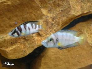 Altolamprologus compressiceps shell Kachese – para