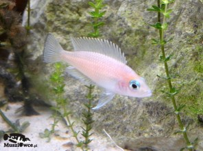 Lamprologus leleoupi Kapampa - samica