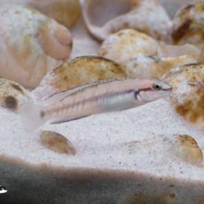 Telmatochromis vitattus shell - samica