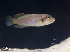 Lamprologus ocellatus Chisanze - samiec