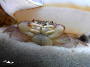 Plathythelphusa maculata