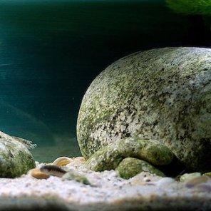#Muszlowisko: 57 litrów - Lamprologus speciosus