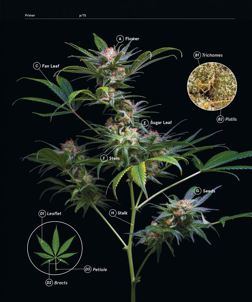 field guide to marijuana strains pdf