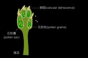 圖二、香楠的雄蕊花葯瓣裂示意圖