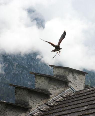 Erlebnisburg Hohenwerfen: Adler im Anflug