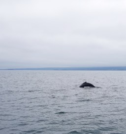 Island mit Kindern: Norden: Whale Watching in Husavik