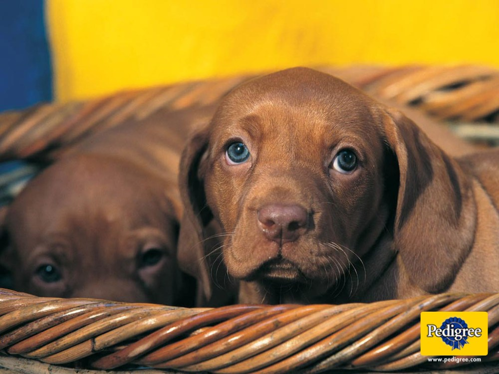 6 More Dog and Puppy wallpapers from Pedigree (6/6)