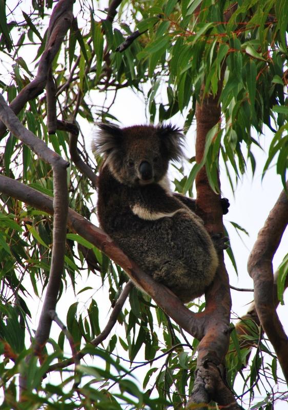 Koala Perthissä