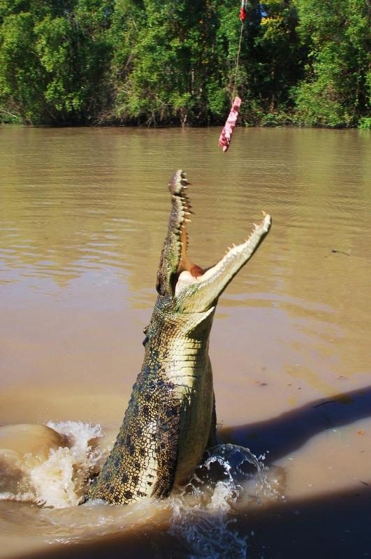 Maailman suurin krokotiili