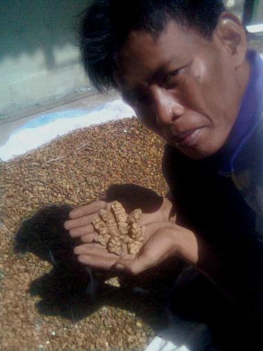 Kopi luwak, maailman kallein kahvi