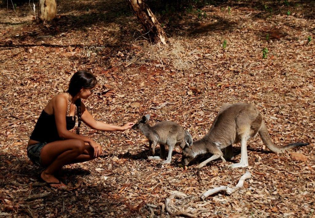 Kenguruita Australiassa