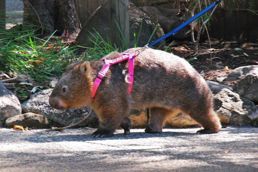 vompatti kävelyllä cairnsin eläintarhassa