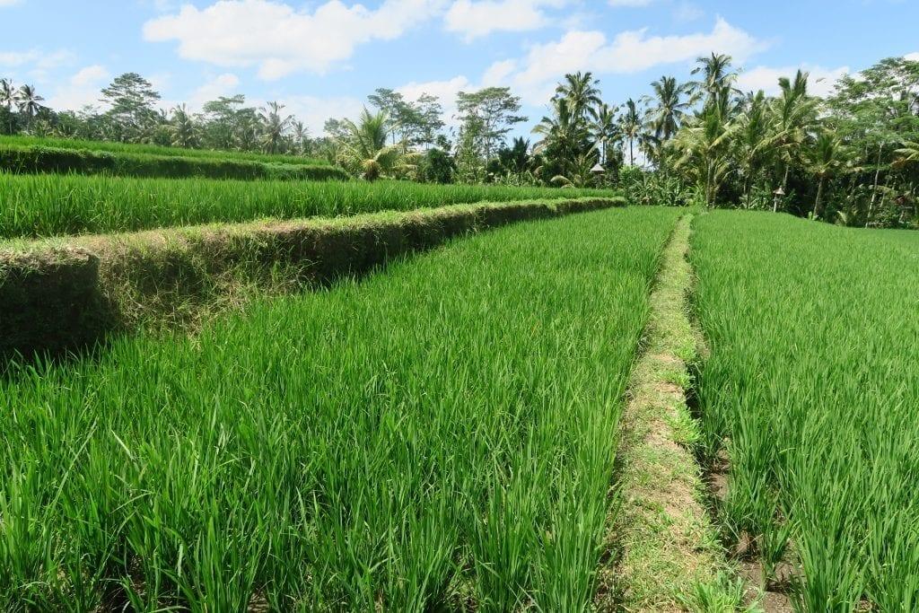 riisiterasseja Balilla