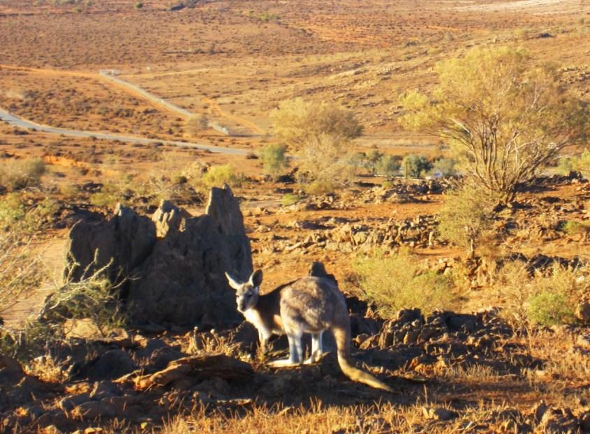 kenguru Australian erämaassa