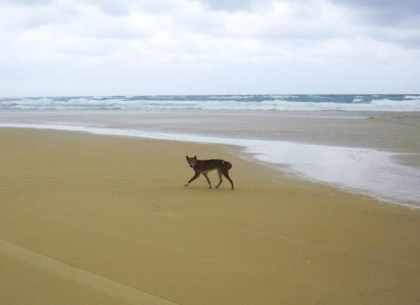 australia vaaralliset elaimet - dingo