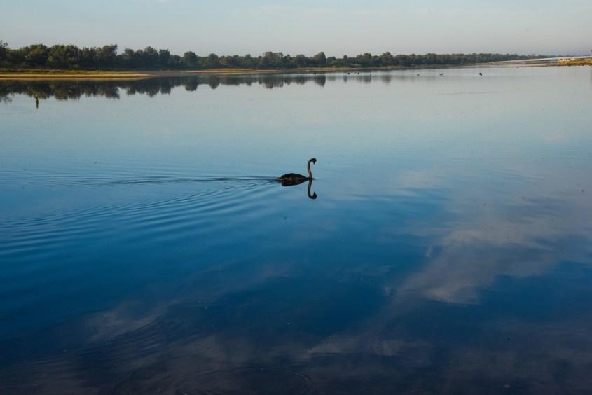 Musta hanhi järvellä Australiassa