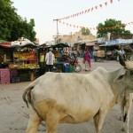 Omituisimmat matkakokemukset, lehmä tiellä intiassa