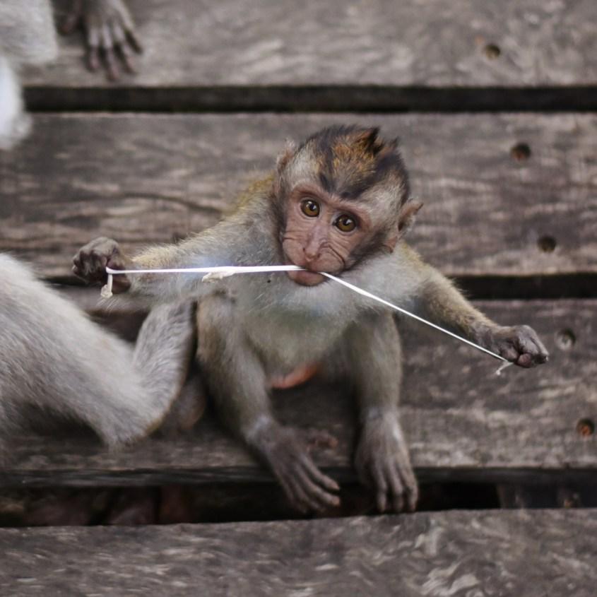 Ubudin apinametsä Balilla