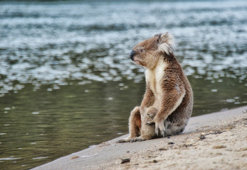 Koala luonnossa