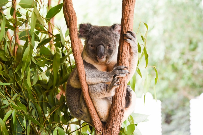 Brisbanen Lone Pine Koala Sanctuary