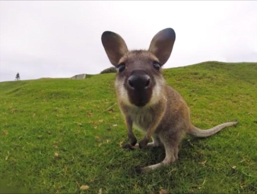 mitä nähdä australiassa - kenguru