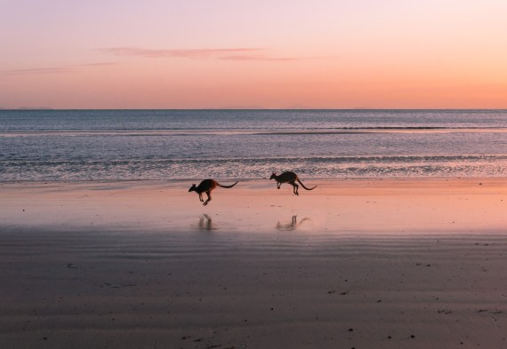 Kengurut Rannalla - Cape Hillsborough