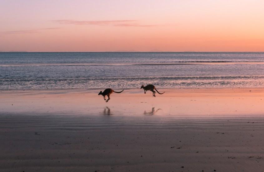 Kengurut rannalla auringonnousussa – Australian Cape Hillsborough