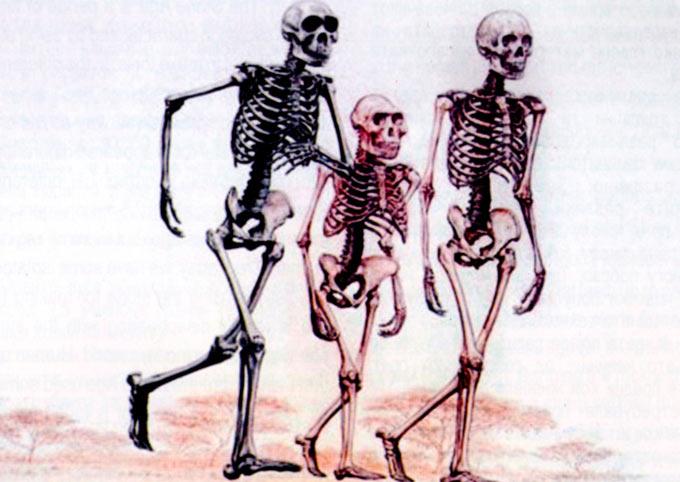 Australopithecus afarensis (во средината), најраниот од трите вида; Homo erectus (лево), еден меѓу вид; и Homo sapiens sapiens, модерниот човек