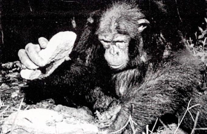 Шимпанзо употребува камен да ги скрши лешниците поставени на поголем камен