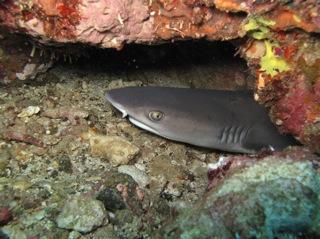 Blacktipped Reef Shark, snorkel Watamu
