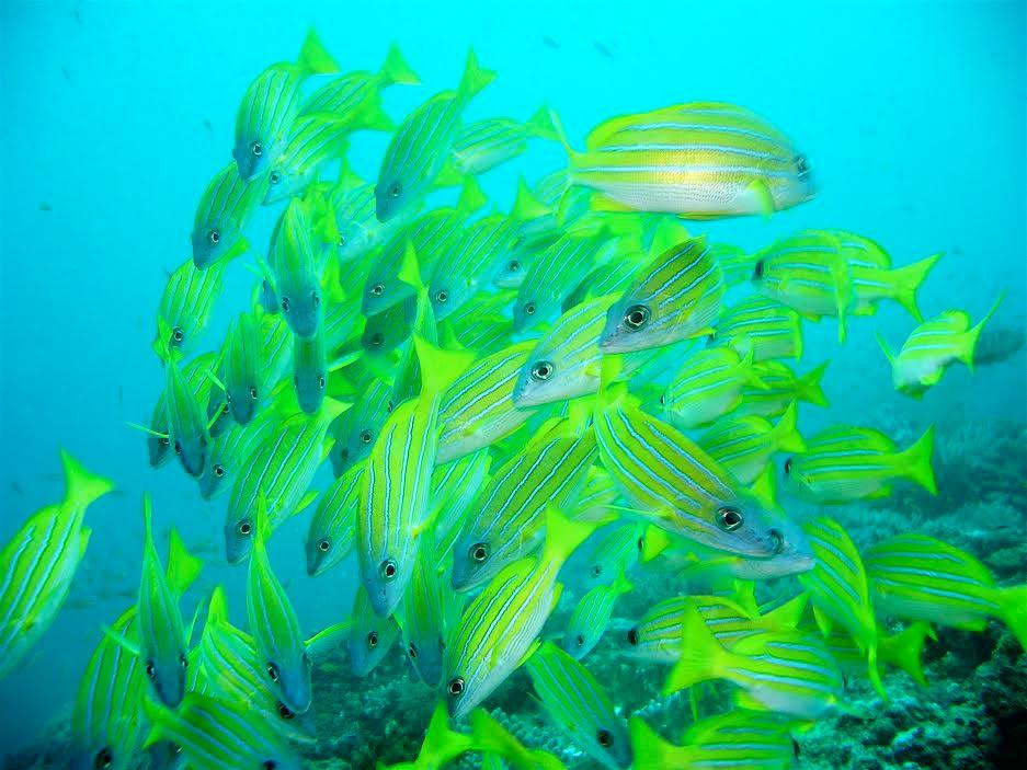 Blue-striped Snapper Watamu snorkeling