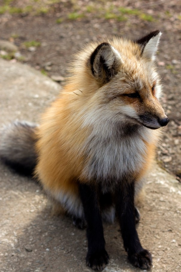 I felt bad for not including this fox posing for me.