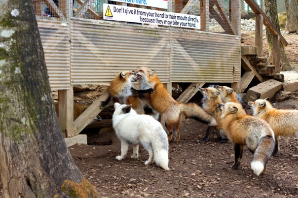 Is it click bait if I name this 'Japanese foxes make out'?