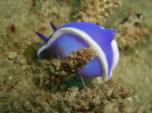 Nanshin Maru, Dorid Nudibranch