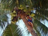 Dropping Coconuts