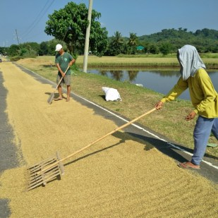 rice-drying-on-the-road