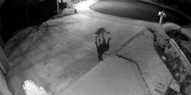 Another Mountain Lion Spotted Roaming Through Westlake Village Neighborhood – KTLA