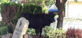 A bull goes roaming in Meridian. Here's how he made his way home. – Idaho Statesman