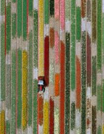 bloembollenveld, luchtfoto, lijn, ordening