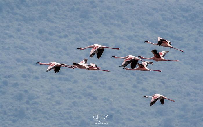 African Screens 52 – Lake Nakuru Flamingoes