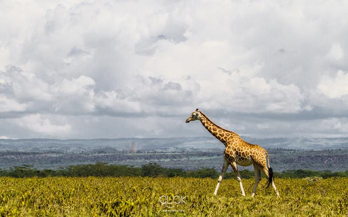 African Screens 57 – Nakuru Giraffe