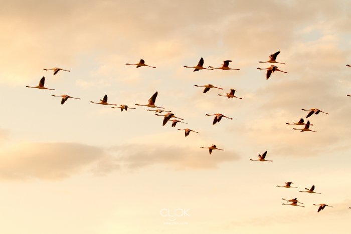Lake_Magadi_Flamingoes-2